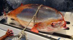Increíble cuento de pesca de un misterioso pez louvar de 136 kilos - An Amazing Cabo Tale of a 300-Pound Mystery Fish