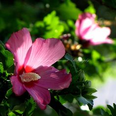 Beyond my bedroom window, the Rose of Sharon is staging a lovely, old fashioned transition to autumn.