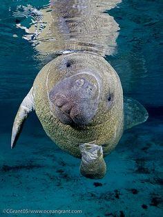 Swim with a Manatee!!