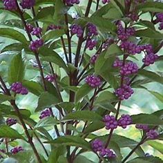 """The Beautyberry 'Purple Pride', Callicarpa dichotoma 'Issai', is an outstanding Japanese selection with lilac-violet berries. Issai means """"fruiting at a young age"""". It does best if planted in a protected location (from winter wind and sun), preferably east exposure. 'Purple Pride' has colorful berries that last long into winter and are eaten by a variety of wildlife. Pruning makes 'Purple Pride' even a more attractive, pretty plant. Cut it back to within 4-6"""" of the ground in early spri..."""