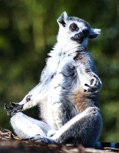 d'awwwww meditating lemur http://huff.to/I7CCdj
