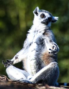 Meditating Lemur At Parc Paradiso Nature Reserve Finds Inner Peace