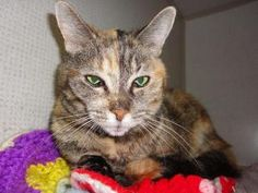 BRAT is an adoptable Tabby - Brown Cat in Delhi, NY. BRAT was surrendered to the shelter on February 25, 2012 when she was about 13 years old, because her owner died.  She's an orange and black/brown...