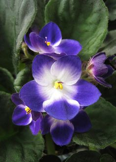 African Violet for the apartment until we get the new house