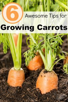 6 Awesome Tips for Growing Carrots- Growing carrots is pretty easy if you know what to do. These gardening tips will help you grow a great crop of your own!