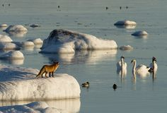 So near, but yeat so far away. Fox looking at swans by a lake in Finland. Les Fables, Garden Animals, Scandinavian Countries, City Landscape, Far Away, What Is Like, Amazing Nature, Beautiful World, Norway