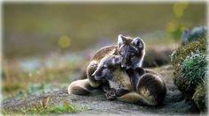 FULL STORY=> http://ift.tt/2o6RpM9 Arctic fox kits on Wrangel Island Russia    http://ift.tt/2p9iHTC http://ift.tt/2opF9Iq