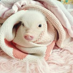 My reaction: IS THAT SERIOUSLY A PIG?!!! THAT IS TOO CUTE TO BE A PIG!!!