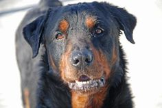 Brooklyn Center BUDDY - A0963729 MALE, BLACK / BROWN, ROTTWEILER MIX, 6 yrs Buddy was brought in with Mutt, Creed and Rocco when their owner died. Buddy has a brand new picture which highlights how handsome he is. Now, all he needs is a new home..please share. https://www.facebook.com/photo.php?fbid=607055679307315=a.161896980489856.39457.152876678058553=3