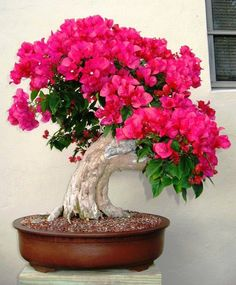 Bougainvillea Bonsaï... Awesome Color.
