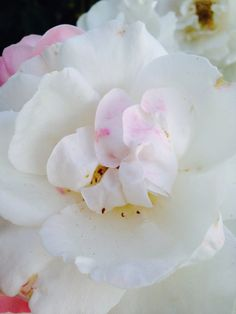 Roses, close-up.