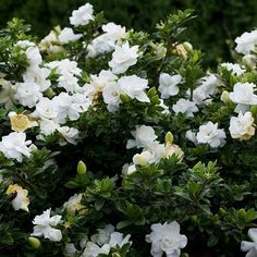 Gardenia jasminoides 'Crown jewel' - Jasmin du Cap à fleurs doubles
