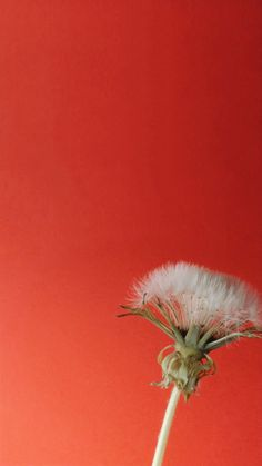 Vertical Timelapse Video Of A Dandelion Flower Blooming On A Red Background. dandelion timelapse act White Dandelion, Dandelion Flower, Blooming Flowers, Spring Flowers, Dandelion Plant, Blossom Trees, Blossom Flower, Beautiful Nature Scenes, Beautiful Flowers