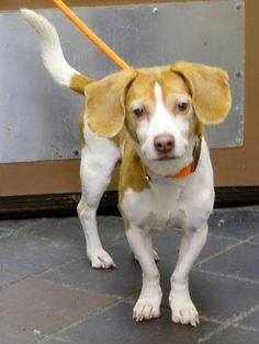 SAFE - Manhattan Center -P My name is OSCAR. My Animal ID # is I am a male tan and white beagle mix. The shelter thinks I am about Animal Shelter, Animal Rescue, Rescue Dogs, Animals Beautiful, Cute Animals, Especie Animal, Foster To Adopt, Beagle Mix, Animales
