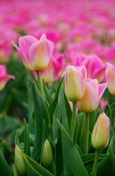 Sok tulipán.