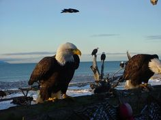 Bald Eagles feeding on dead fish on the shores of Lake Erie near Hinckley, OH