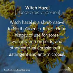 Whitch hazel