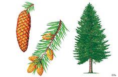Шаблоны и картинки листьев  разных деревьев.Ель Autumn Nature, Montessori Materials, Nature Journal, Tree Forest, Plantar, Garden Trees, Learning Environments, Nature Crafts, Kids Cards