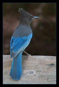 Steller's Jay by secondclaw on DeviantArt