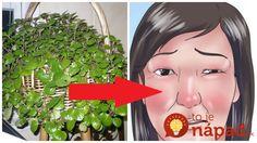 Táto obyčajná izbová rastlina neslúži iba na okrasu. Dokáže vám účinne pomôcť pri nádche, prechladnutí a dokáže ešte omnoho viac! Korn, Anime, Cartoon Movies, Anime Music, Animation, Anime Shows