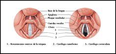Resultado de imagen para cuerdas vocales en movimiento tonos agudos y graves