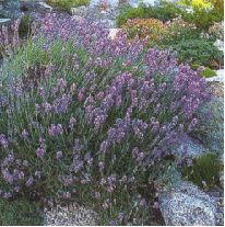 English Lavender - the most widely-grown type of Lavender
