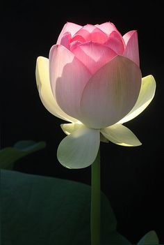 Beauty of nature - Lotus flower