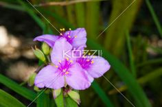 purple needle palm - A purple needle palm flower with foliage in the background.