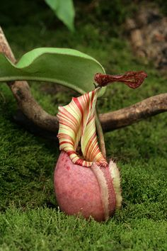 Nepenthes veitchii - highland form by erica_naturegirl, via Flickr