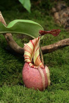 Nepenthes veitchii - highland form by erica_naturegirl, via Flickr