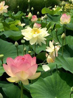 Lagoa de Lotus no sol (água das flores do verão). Foto por GodsBlessings