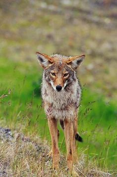The coyote, Canis latrans,  also known as the American jackal, brush wolf or the prairie wolf, is a species of canine found throughout North and Central America, ranging from Panama in the south, north through Mexico, the United States and Canada. It occurs as far north as Alaska and all but the northernmost portions of Canada.