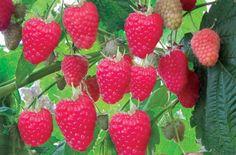 9 секретов хорошего урожая малины — Мир интересного