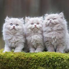 Veterinary Surgeon, Veterinary Technician, Veterinary Medicine, Persian Kittens, Cats And Kittens, Big Cats, Best Puppies, Dogs And Puppies, Vet Jobs
