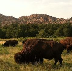 The breathtaking Wichita Mountains Wildlife Refuge in Oklahoma is home to herds of majestic American buffalo.