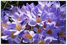 Fall Crocus While most crocus grow in the spring, there are some gorgeous species that thrive in the fall. (Douglas Hunt)