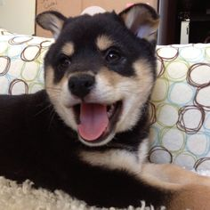 A new addition to the family. Welcome baby Bandit! Welcome Baby, Shiba Inu, Husky, Dogs, Animals, Animales, Animaux, Pet Dogs, Doggies