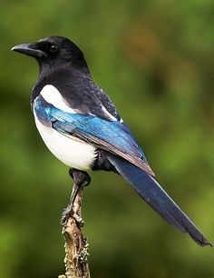 Photo of straka obecná Pica pica Magpie Elster Exotic Birds, Colorful Birds, Pretty Birds, Beautiful Birds, Eurasian Magpie, Pie Bavarde, Magpie Tattoo, Animals And Pets, Cute Animals