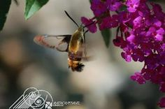"""""""Hummingbird Moth"""" by Paul Gavin has been entered into our February Featured Artist Contest. Go here to vote: http://woobox.com/xqw7jv"""