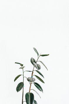 Rubber tree, plants