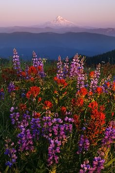Hill with a view - These are flowers and that is Mt Hood! By Henrik Anker Bjerregaard Lundh iii. Nature Aesthetic, Flower Aesthetic, Aesthetic Photo, Photo Wall Collage, Picture Wall, Aesthetic Iphone Wallpaper, Aesthetic Wallpapers, Pretty Flowers, Exotic Flowers