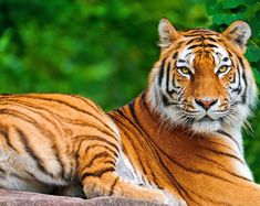 Tigers are renowned the world around for their undeniable beauty, grace and form Tags Baby Animals, Funny Animals, Cute Animals, Wild Animals, Especie Animal, Animal Memes, Cross Stitch Fabric, Cross Stitch Patterns, Big Cats