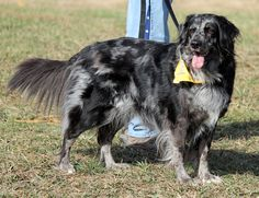 One more merle post Aussie Mix, Dachshund, Colors, Dogs, Animals, Animales, Animaux, Weenie Dogs, Pet Dogs