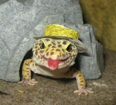 lizard w/ a hat on & tongue out