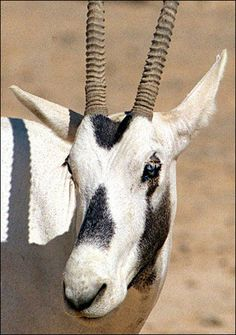 Arabian Oryx (extinct in the wild) I saw this magnificent animal at the Wild Animal Park, San Diego :={