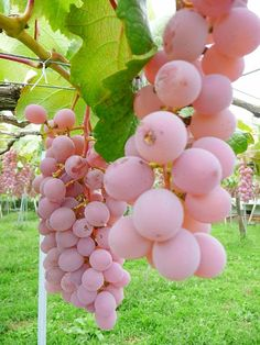 #wine #grapes #pinkwww.winewizard.co.za