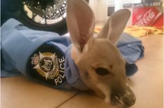 """Adorable Baby Kangaroo Adopts Police Officer As Its Mom - Watch It Climb Into His """"Pouch"""" 