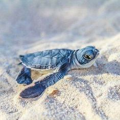 Sea Turtles Hatching, Baby Sea Turtles, Cute Turtles, Turtle Baby, Cute Funny Animals, Cute Baby Animals, Animals And Pets, Beautiful Creatures, Animals Beautiful