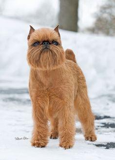 59. Grifón de Bruselas   Pertenece al grupo de Perros de compañía. Altura promedio: 17.8 a 20.3 cm al hombro. Peso promedio: 3.2 a 5.4 kg.
