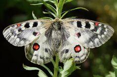 ButterflyCorner.net: Parnassius phoebus (Small Apollo, Alpen Apollo)